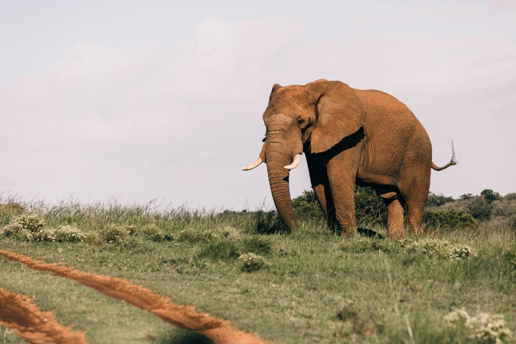 Save an elephant
